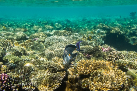 surgeonfish: Sohal surgeonfish on background coral reef Stock Photo