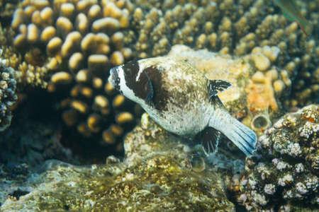 Arothron diadematus on coral reef
