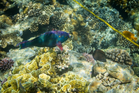 actinopterygii: Rusty Parrot fish on coral reef