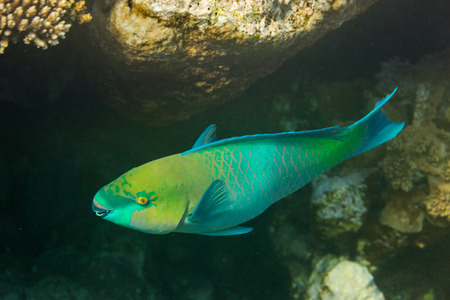 actinopterygii: Rusty Parrot fish on coral reef Stock Photo