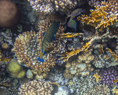 A Blue Dot Grouper on the coral reef of red sea photo