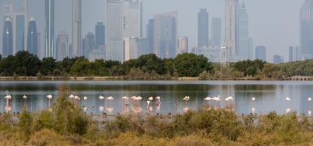 Pink flamingos in the background of metropolis Dubai  in the lagoon Ras al Khor