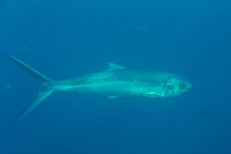 Barracuda on background coral reef photo