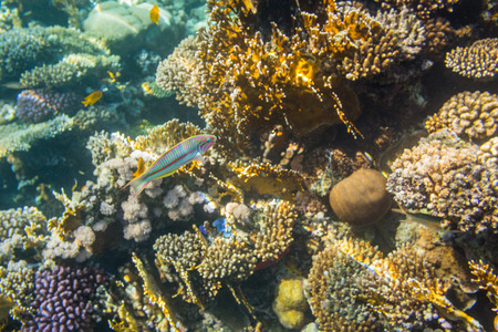wrasse: Diving in Sharm El Sheikh Stock Photo