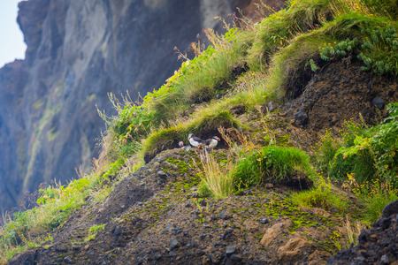 puffins: Puffins on the rocks near the Icelandic town of Vic