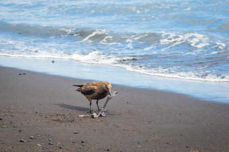 carrion: Seagull on the beach in Iceland bite carrion Stock Photo