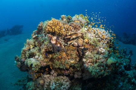 zebra lionfish: Lionfish on the wreck Lighthouse near the city Dahab in Egypt