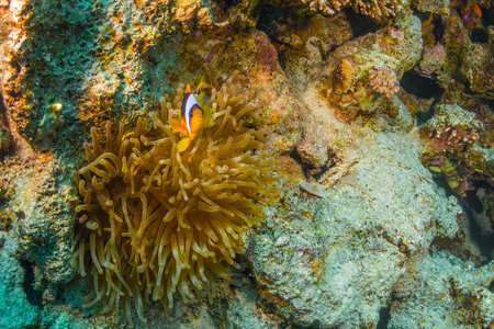 symbiotic: Clownfish on a coral reef of the Red Sea
