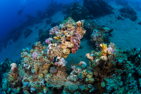 scubadiving: Scorpaena on a coral reef in Dahab. Egypt.