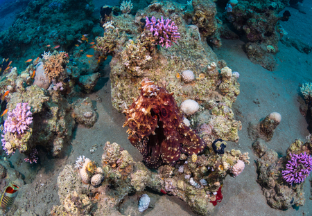 aciculum: Octopus at the bottom of the Red Sea.