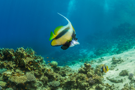 butterfly fish: Butterfly fish on background of a coral reef