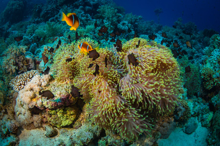 exoticism saltwater fish: Anemonefish on a coral reaf in Red Sea