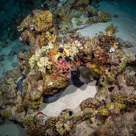 saltwater eel: Moray night on coral reef
