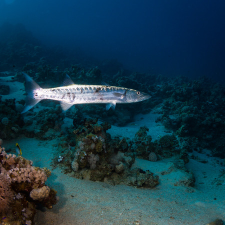deepsea: Single barracuda on the reaf of red sea