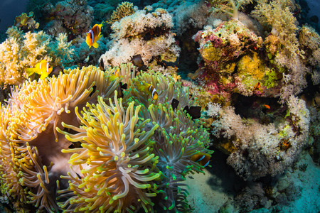 symbiotic: Anemonefish on a coral reaf in Red Sea