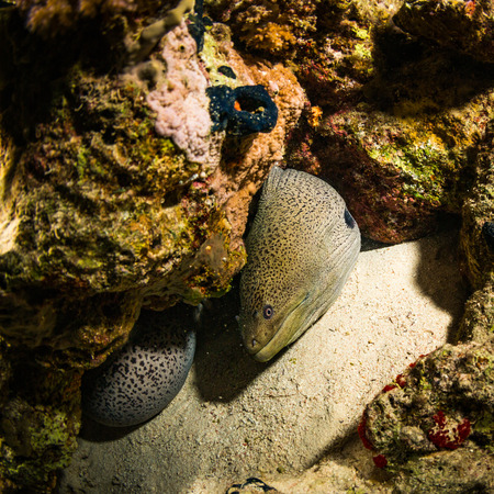 saltwater eel: Moray night on coral reef