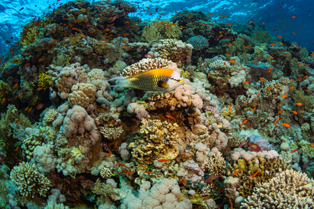 polyp: Epibulus insidiator on the reef of the Red Sea