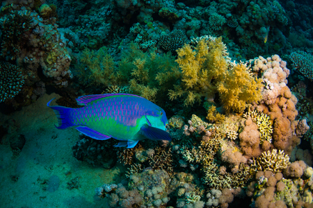 parrotfish: Parrotfish  on the reef of the Red Sea