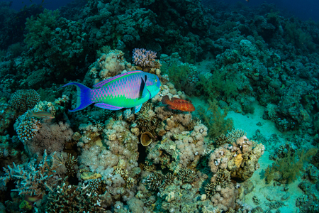 parrotfish: Parrotfish and Coral grouper on the reef of the Red Sea