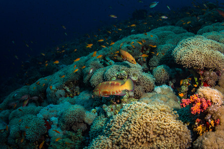 polyp corals: on the reef of the Red Sea