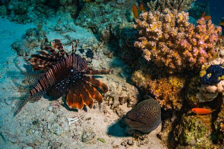 zebra lionfish: Lionfish and moray on the coral reef