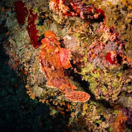 polyp corals: Tassled scorpionfish on the reef of the Red Sea
