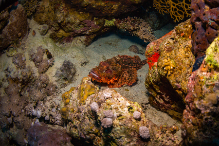 scorpionfish: Tassled scorpionfish on the reef of the Red Sea