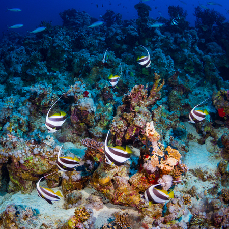 bannerfish: Red sea bannerfish on the reef of the Red Sea