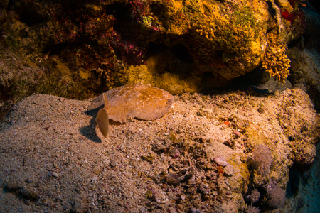 hidden danger: Torpedo panthera on coral reaf of Sharm El Sheih