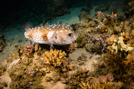 polyp corals: Spotfin Burrfish on the reef of the Red Sea