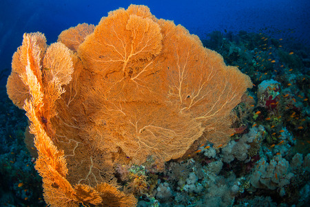 gorgonian sea fan: Gorgonian on a reef near the city of Dahab in the Red Sea