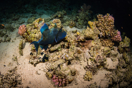 triggerfish: Blue-and-gold triggerfish on the reef of the Red Sea