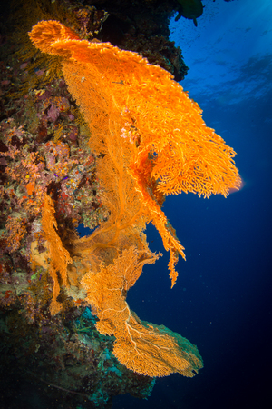 dahab: Gorgonian on a reef near the city of Dahab in the Red Sea