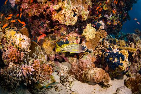 blackspotted: Blackspotted rubberlip on coral reaf of Sharm El Sheih