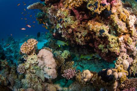 sharm: Blackspotted rubberlip on coral reaf of Sharm El Sheih