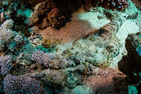 sharm: Tentacled flathead on coral reaf of Sharm El Sheih
