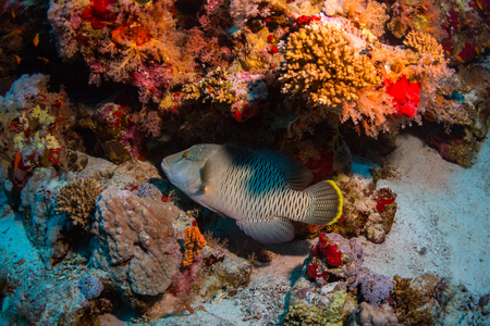 polyp corals: Grouper on the reef of the Red Sea
