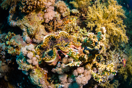 Tridacninae on the reef of the Red Sea Stock Photo