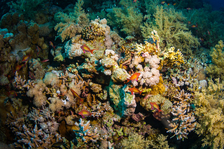 polyp corals: Tridacninae on the reef of the Red Sea Stock Photo