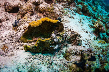 taxonomic: Tridacninae on the reef of the Red Sea Stock Photo