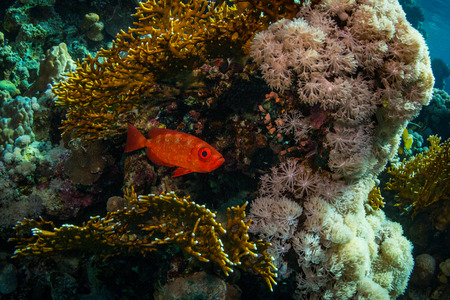 triggerfish: Moontail bullseye on the reef of the Red Sea Stock Photo