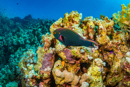 polyp corals: Parrotfish on the reef of the Red Sea