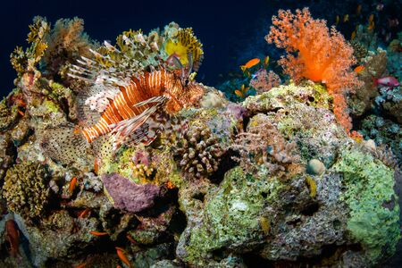 zebra lionfish: Red Lionfish hunting on the coral reef Stock Photo
