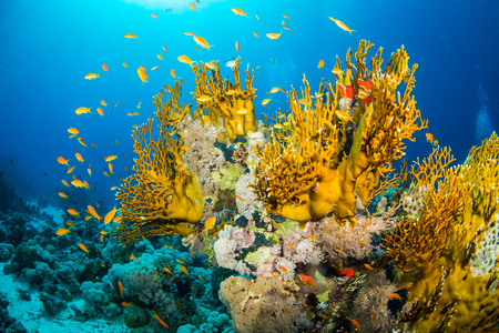 animal background: Beautiful coral garden in Red Sea