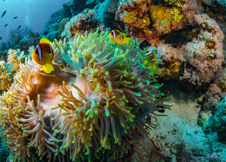 anemonefish: Anemonefish on a coral reaf in Red Sea