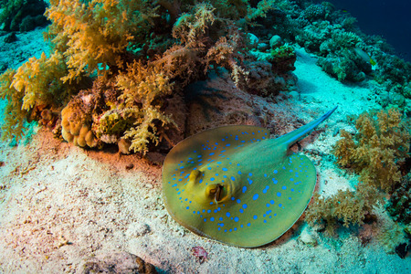 spotted ray: Stingray on coral reaf of Sharm El Sheih