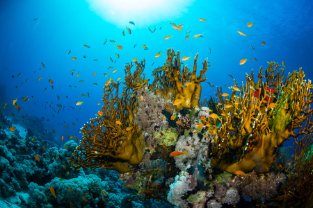 colored background: Beautiful coral garden in Red Sea