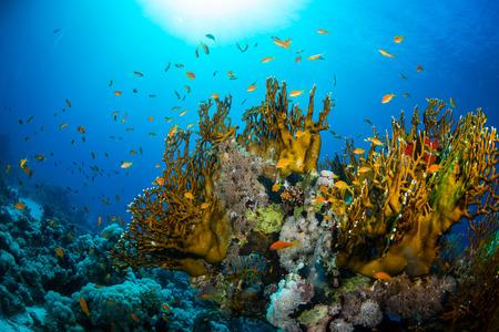 peces de acuario: Hermoso jard�n de coral en el Mar Rojo