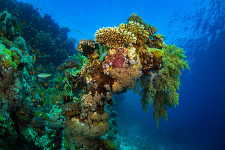 polyp corals: Beautiful coral garden in Red Sea