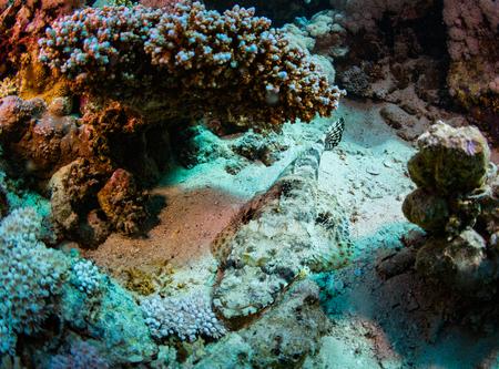 flathead: Tentacled flathead on coral reaf of Sharm El Sheih